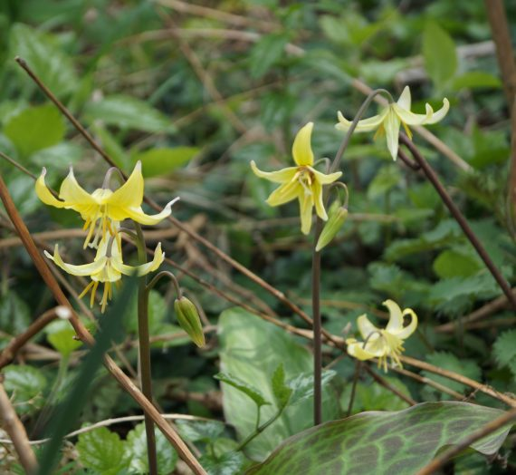 Erythroniums trognons